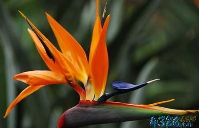 天堂鸟花图片?小鸟花和天堂鸟一样吗?